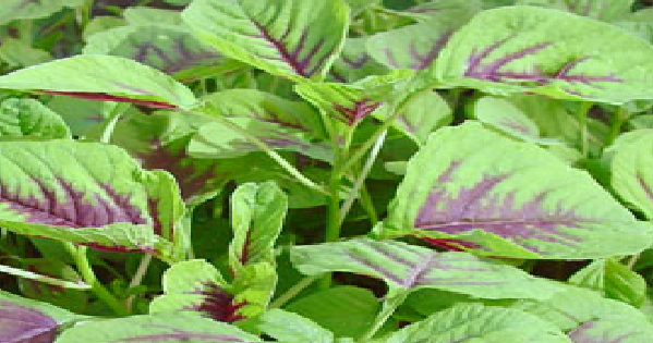 amaranth history and origin